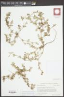 Alternanthera caracasana image