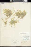 Galium munzii image