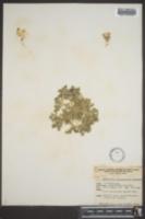 Langloisia setosissima subsp. punctata image
