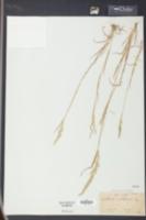 Image of Eatonia obtusata