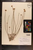 Eriogonum calcareum var. sceptrum image
