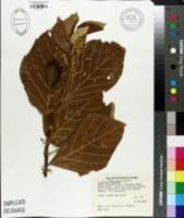 Image of Guettarda speciosa