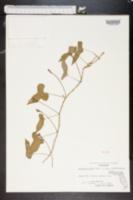 Image of Ipomoea trifida