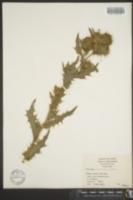 Image of Cirsium gilense