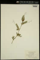 Vicia sativa image