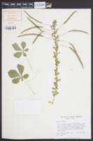 Gynandropsis gynandra image