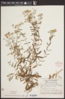 Eupatorium glaucescens image