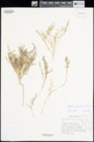 Suaeda occidentalis image