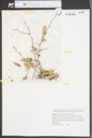 Planera aquatica image