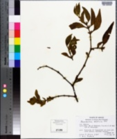 Phoradendron velutinum image