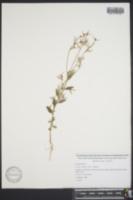 Croton michauxii var. ellipticus image