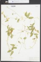 Centrosema virginianum image