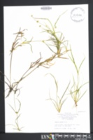 Image of Juncus repens