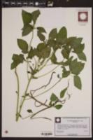 Acalypha setosa image