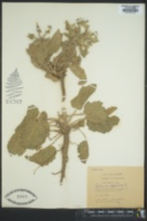 Image of Salvia spinosa