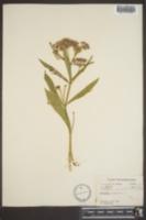 Asclepias incarnata image