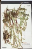 Scirpus expansus image