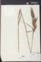 Erianthus coarctatus image