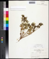 Image of Geranium texanum