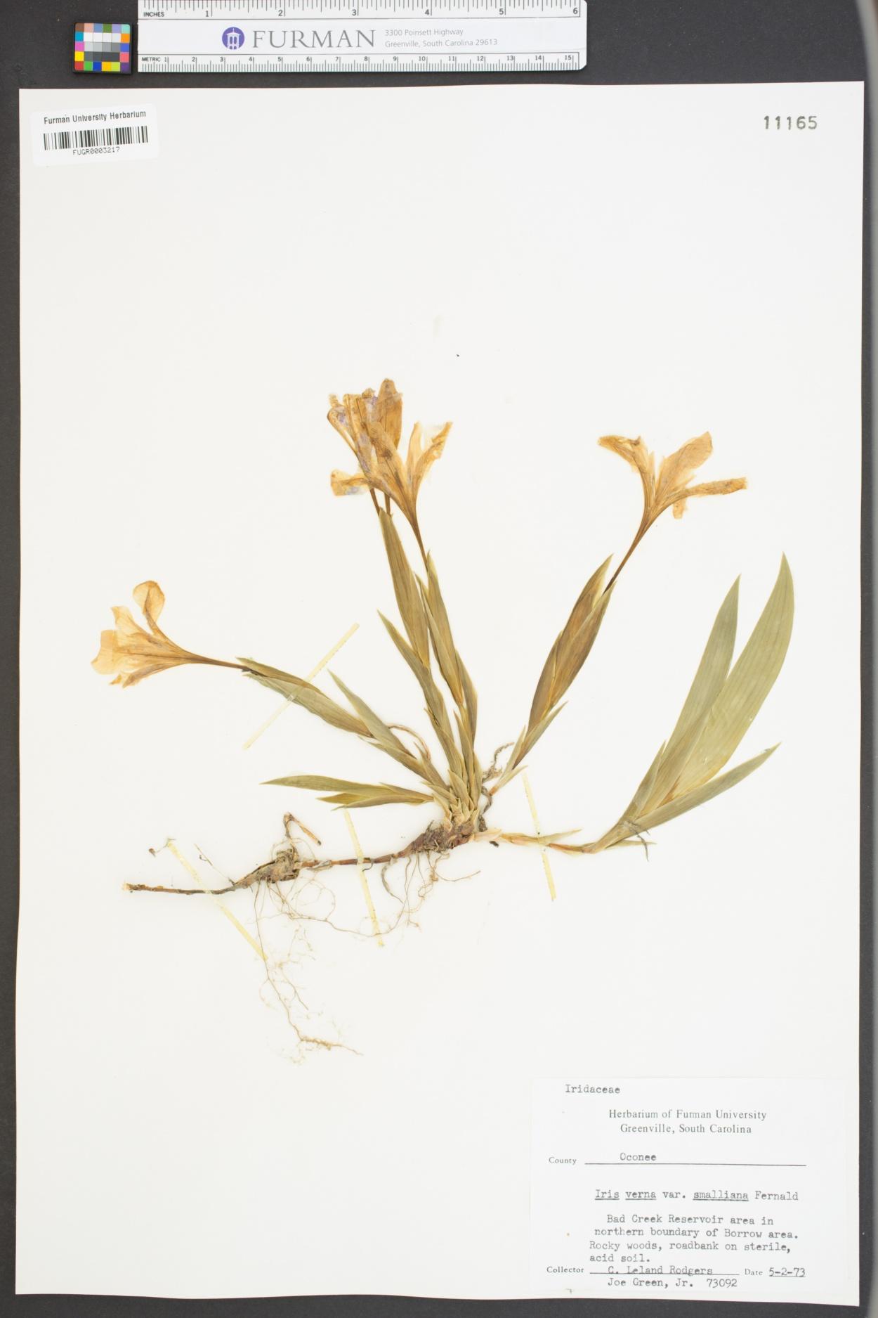 Iris verna var. smalliana image