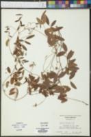 Galactia elliottii image