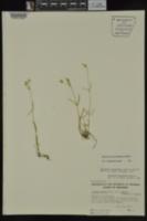 Minuartia muscorum image