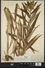 Lilium lancifolium image