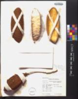 Amphilophium crucigerum image