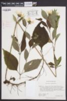 Helianthus decapetalus image