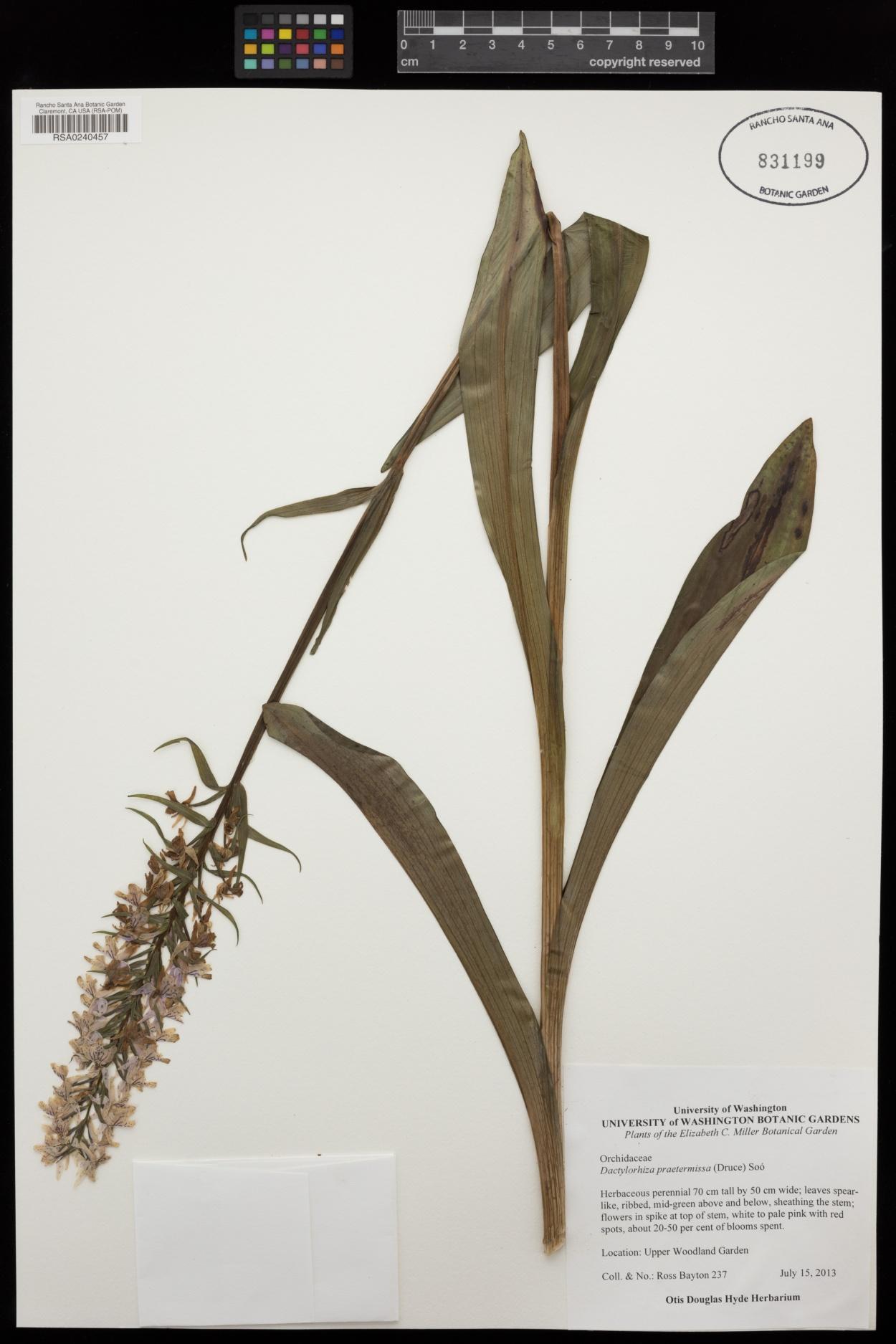 Dactylorhiza praetermissa image