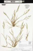 Image of Puccinellia rupestris