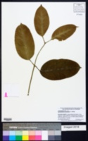 Austrobaileya scandens image