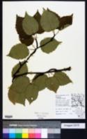 Betula papyrifera image