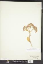 Image of Sedum erythrostictum