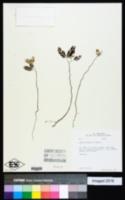 Image of Acacia muricata