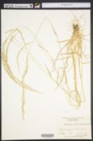 Sphenopholis nitida image