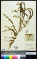 Image of Berteroa mutabilis