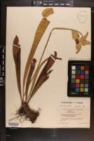Image of Sarracenia exornata