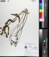 Valerianella umbilicata image