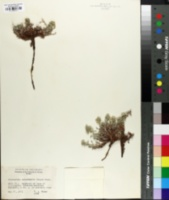 Image of Cryptantha osterhoutii
