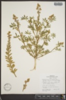 Image of Lupinus arizonicus ssp. arizonicus