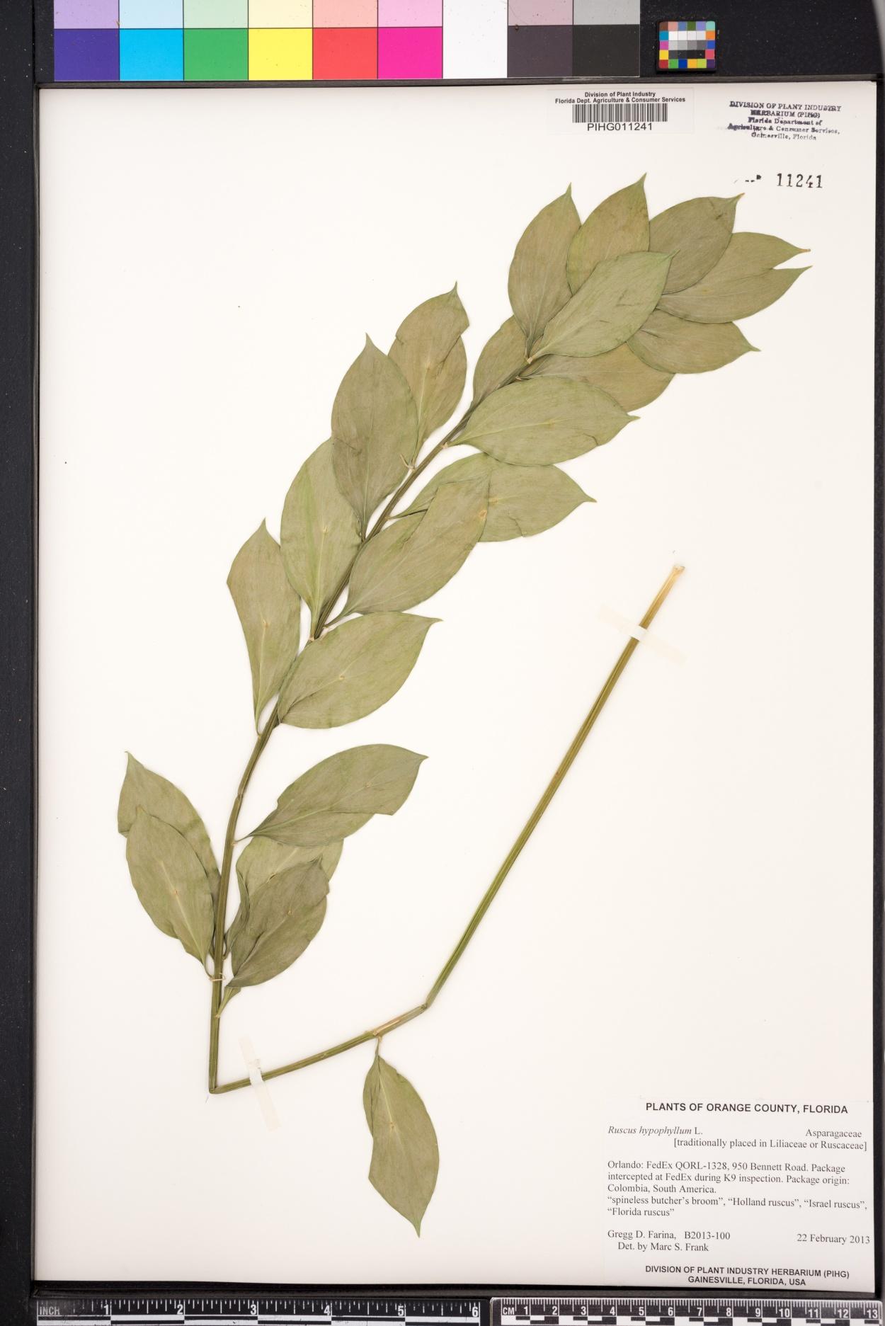 Ruscus hypophyllum image