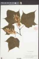 Image of Acer capillipes