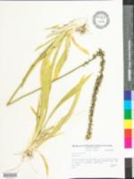 Aletris farinosa image