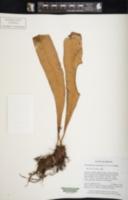 Image of Elaphoglossum annamense