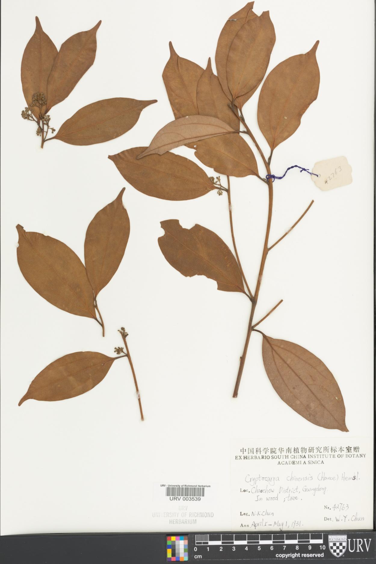 Cryptocarya chinensis image