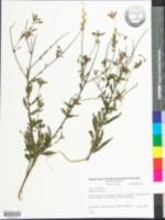 Oenothera gaura image