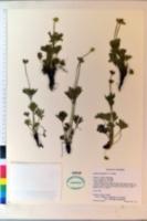 Image of Anemone tetonensis