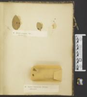 Aecidium laceratum image