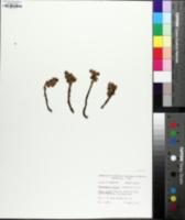 Monotropsis odorata image